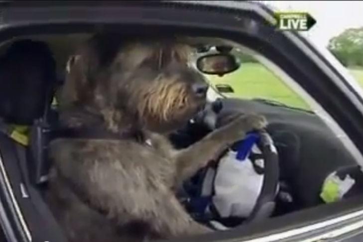 Hunde lernen Autofahren