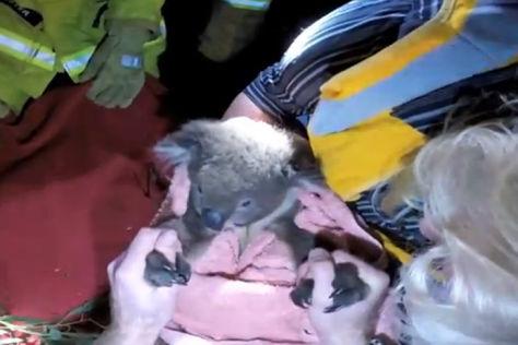 Koala-Bär nach der Rettung durch die australische Feuerwehr