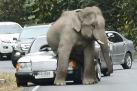 Elefant auf Mercedes
