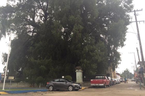 Ahuehuete Baum