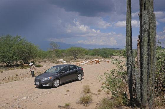 Ford Focus mit Säulenkaktus