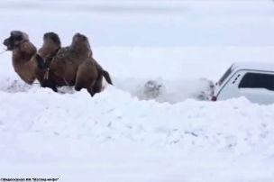 Kamel befreit Lada aus dem Schnee